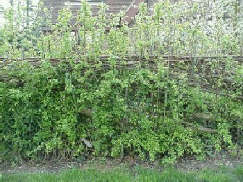 Second year's regrowth just starting on South of England hedge