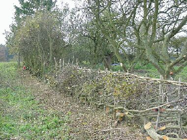 Orchard side, partly laid