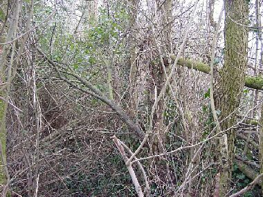 Hedge has encroached down bank into and over ditch