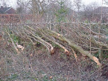 This is the same section of hedge after laying as in the picture on the left!