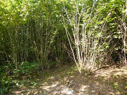This              hazel has been coppiced once before