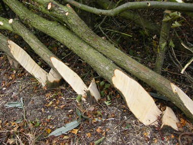 Stumps cut with a              billhook for both a cleaner and steeper cut than sawing.