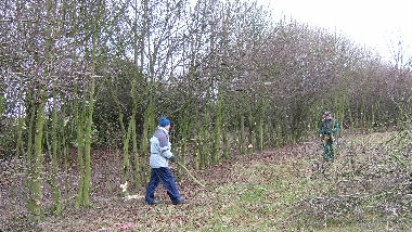 General view of hedge after preparation for laying