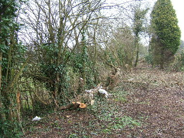 General view of overgrown hedge before laying