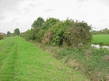 View towards canal before laying with ash trees just visible above the rest of the hedge