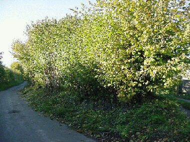 End of hazel hedge before laying