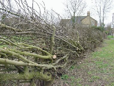 Live ash stakes used to support relaid hedge