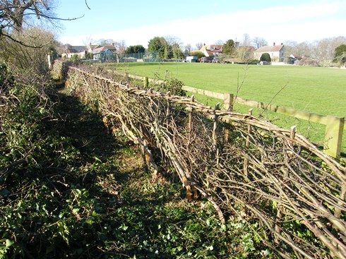Another              view of completed hedge