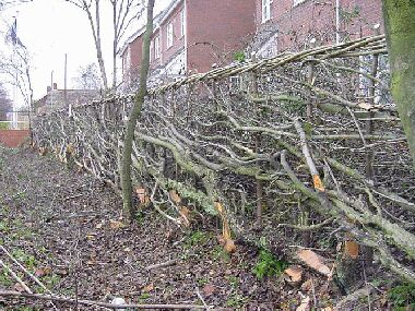 Ash and a couple of hawthorn left to grow on as trees for interest, variety and habitat