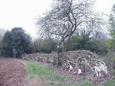 General view of completed hedge with crab apple retained
