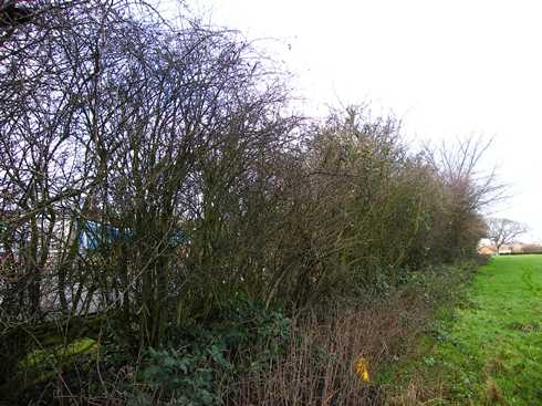 Initial              view from end of hedge