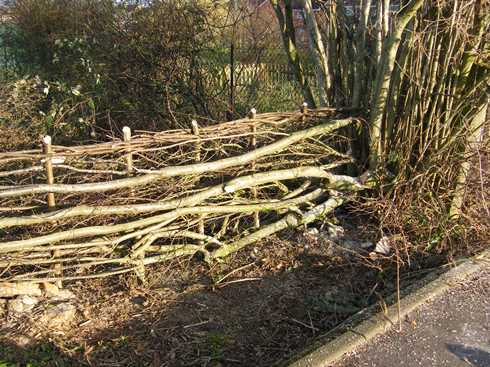 End of              hedge at large hazel stool