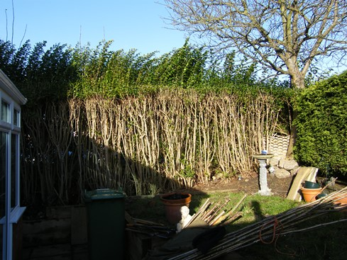 Hedge has been cut back hard to reclaim garden