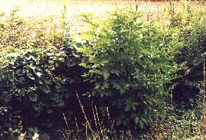 Elder, centre right, cut down when hedge laid 3 months earlier already higher than hedge
