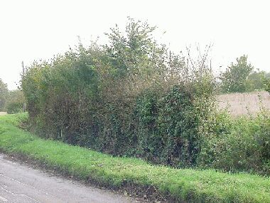 This is the hedge on the right before laying