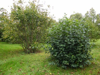 Hazel coppice.              Stool on right shows one year's growth