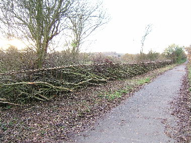 View of completed hedge              from start towards willow