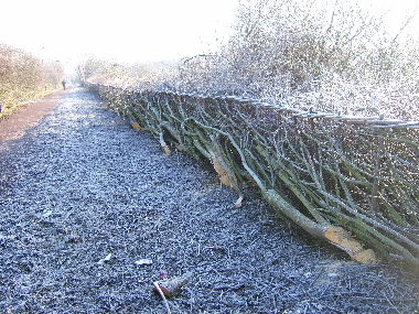 Heavily frosted                hedge