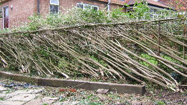 Laid privet hedge