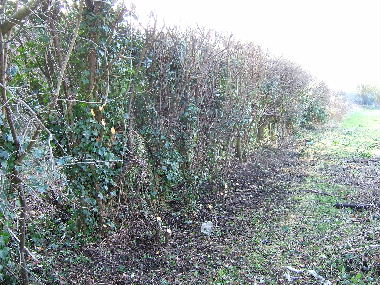 General view of hedge before laying