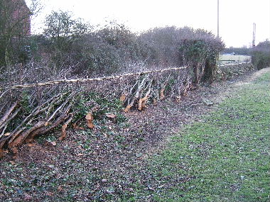 General vew of completed hedge including retained arch in the middle