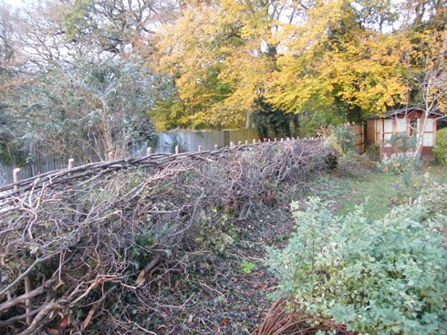View of hedge after laying