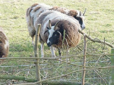 Help with the clearing up from these splendid Jacobs sheep