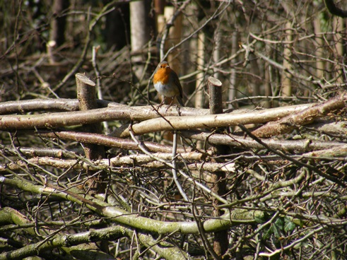 Robin perched on binding of newly laid                 hedge