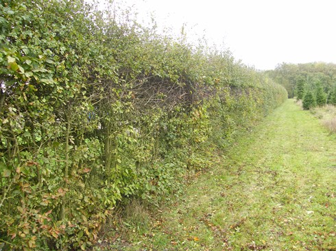 Initial view from other end of hedge