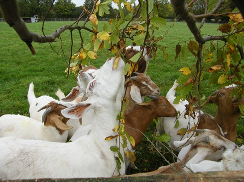 Goats the far side especially fond              of hornbeam!