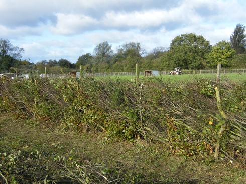 Another view showing live stakes              retaining the hedge
