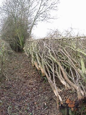 Start of completed hedge showing size of original hedge beyond