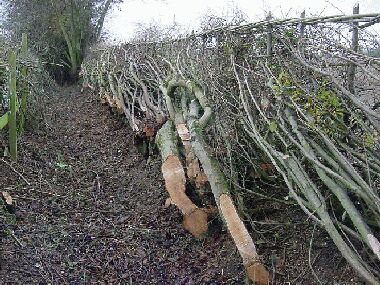 Unusually, this hedge was predominantly field maple and hazel
