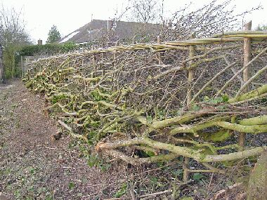 Closer view of completed hedge