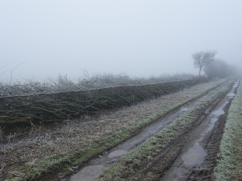 Hedgelaying              in the fog