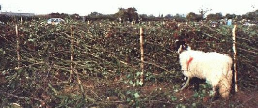 Lancashire style hedge at 1996 National Championships