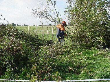 Lancashire hedge being laid