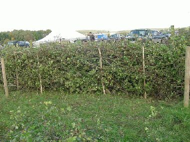 Completed Lancashire hedge with stakes alternating either side