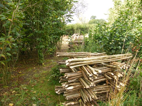Just behind the stacked hazel               stakes is one year old hazel regrowth