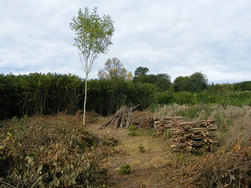 Young ash has been left as a tree, brush covers cut               stools, stakes and binders stacked