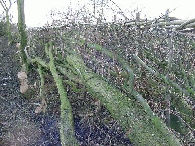 Elm up to 30ft tall was laid into the hedge and taller ones left as trees