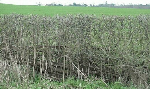 This laid hedge has been well trimmed                     mechanically and is consistently thick and even
