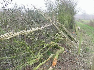 In the foreground a large stem from the previous laying has been laid back into the hedge the opposite way from before