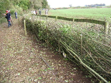 Very tidy section of Lancashire hedge