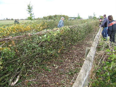 Welsh hedge with binding and angled stakes