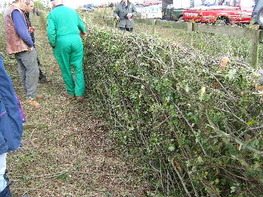 Welsh hedge with angles stakes and no binders