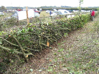 Welsh hedge with living uprights kept for strength