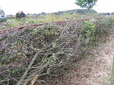 Finished hedge from field side