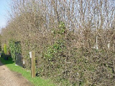 Myrobalan (cherry plum) hedge before laying