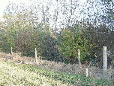Hedge before laying.  Tall ash above a mixed hedge